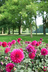Decorative Dahlias in public park
