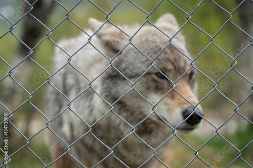 Plexiglas Wolf Wolf