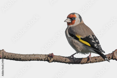 A goldfinch perched on a branch looking left and against an almost white backgro Poster