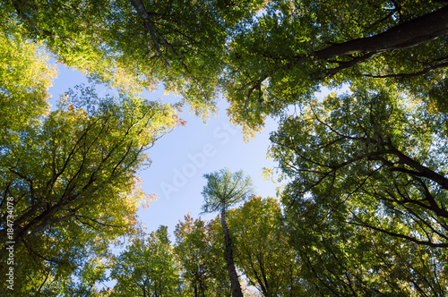 canvas print picture bottom up  trees in late summer forest