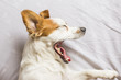 cute white and brown small dog sitting on bed and feeling tired. he is yawning. Home, pets indoors