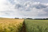Barley and wheat cornfield - 184736408
