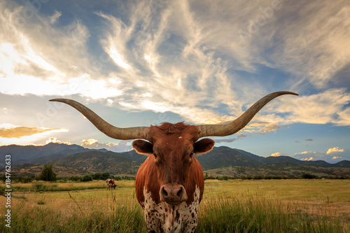 Texas Longhorn Steer in a sunset field.