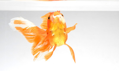 Goldfish isolate on a white background