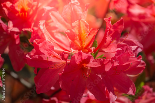 Aluminium Azalea Blossoming red azalea. Rhododendron close-up, selective focus. Spring flowers with sunshine