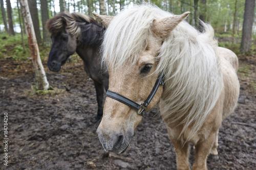 Plexiglas Paarden Horses in a Finland forest landscape. Animal background.