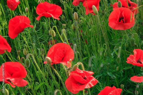 Plexiglas Klaprozen Vibrant Red Poppies