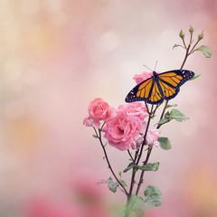 Monarch Butterfly on Rose bush