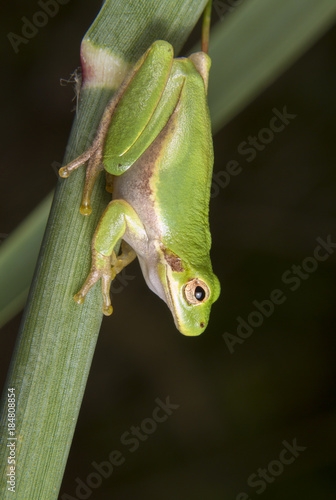 Aluminium Kikker American green tree frog (Hyla cinerea) portrait. High Island, Texas, USA