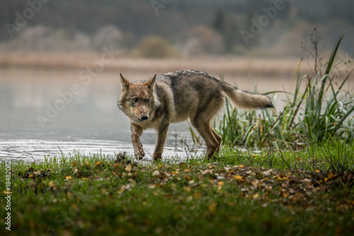 Plexiglas Wolf The gray wolf or grey wolf (Canis lupus) standing on a rock