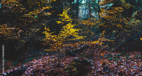 Foto op Canvas Grijze traf. Yellow colored foliage in autumn forest.