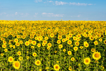 blooming sunflower field
