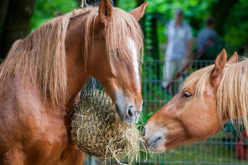brown horse eats a lot of straw