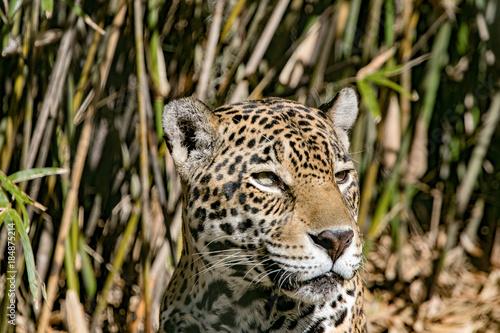 Stalking Jaguar Poster