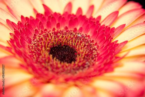 Aluminium Gerbera beautiful bright yellow-red gerbera flower