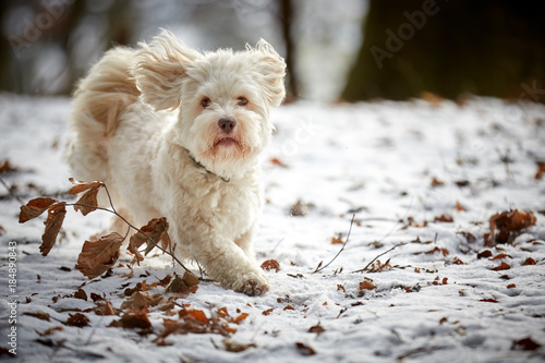 White havanese dog running in winter on snow landscape Poster