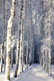 Snow covered birches in a sunny winter forest