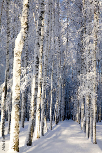 Fototapeta Snow covered birches in a sunny winter forest