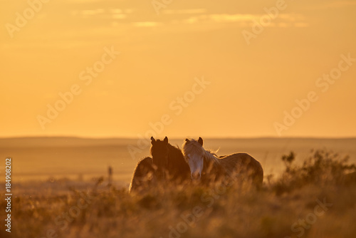Poster Meloen Horses graze on pasture at sunset. The horse (Equus ferus caballus) is one of two extant subspecies of Equus ferus. It is an odd-toed ungulate mammal belonging to the taxonomic family Equidae.
