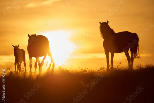 Fotobehang Meloen Horses graze on pasture at sunset. The horse (Equus ferus caballus) is one of two extant subspecies of Equus ferus. It is an odd-toed ungulate mammal belonging to the taxonomic family Equidae.