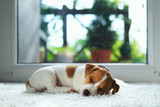 Jack russel puppy on white carpet. Small dog sleep in the house - 184910224