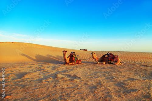 Fotobehang Kameel Camels in the Sahara Desert.