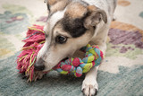 Close up of  small dog playing with colorful rope toy in her home.