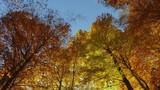 4K - Faggeta in autunno con sole - 184917225
