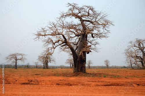 Fotobehang Baobab Baobab trees