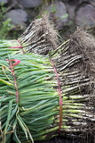 Bunches of harvested Scallion, green onion, spring or salad onion. - 184947270