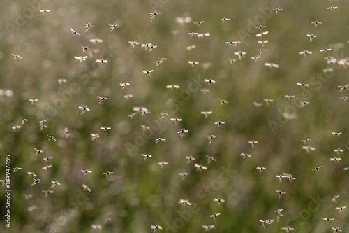 A swarm of flying mosquitoes against green background. - 184947695
