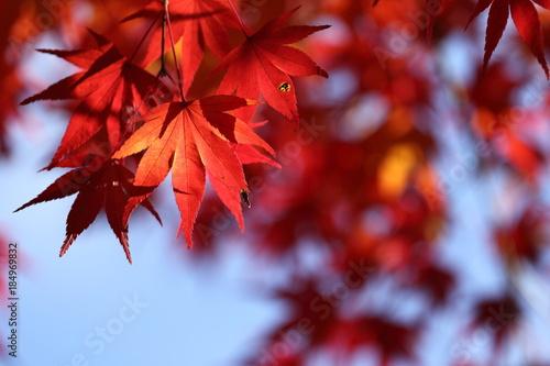 Aluminium Rood paars 紅葉の景色