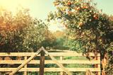Rural landscape image of orange trees in the citrus plantation. - 184975062