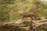 An endangered Florida PantherCougar(Puma concolor)