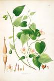 Botanical illustration. - 184985468