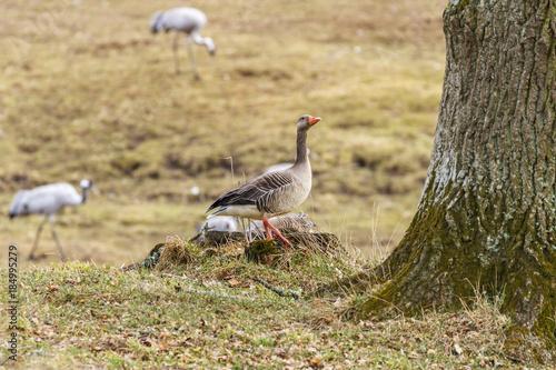 Aluminium Lente Greylag Goose at a tree trunk in the spring