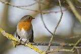Robin in a tree - 185010604