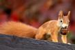 Leinwanddruck Bild - Eichhörnchen