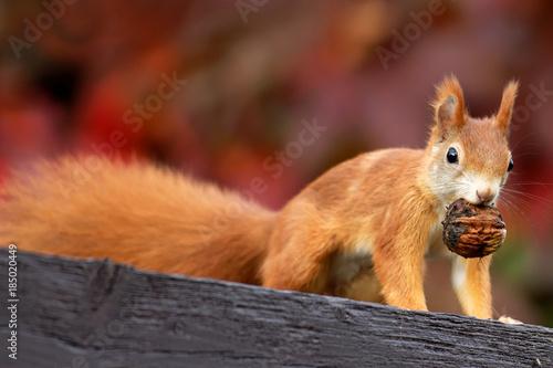 Leinwanddruck Bild Eichhörnchen