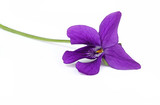 Violette - 185026820