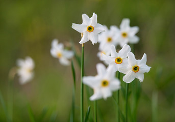 detail of white narcissus flowers