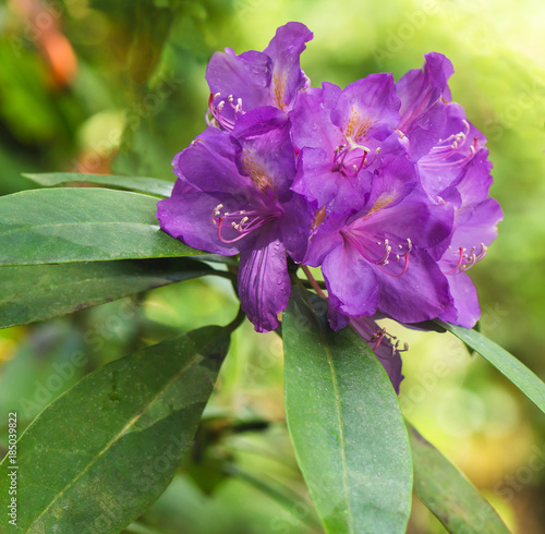 Aluminium Azalea Violet rhododendron flowers on a blurred background