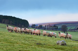 Sheep on a livestock farm on a cold autumn, winters morning in County Durham, England, UK. - 185044469