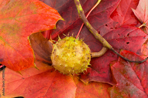 Horse Chestnut on red fallen sycamore leaves. - 185060272