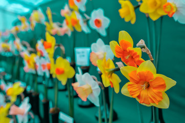 Daffodils on display at a horticultural competition