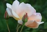 Eureka Rose Bud - 185061237