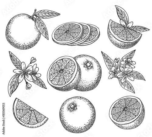 hand drawn orange blossom citrus orange fruit on branc vintage ink