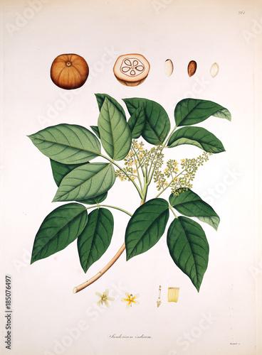 Botanical illustration. - 185076497