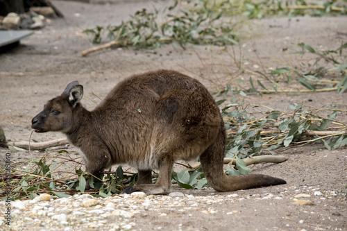Aluminium Kangoeroe Kangaroo-Island kangaroo