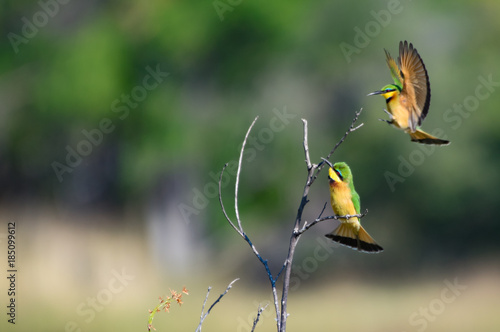 Deurstickers Dubai Couple of Little Bee-eater Merops pusillus perching on branch in cold morning